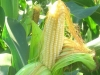 У нашего семеноводства – генетическая зависимость от импорта