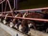 Получив грант от государства, фермеры поняли, что научиться выращивать скот – это полдела, нужно ещё уметь донести продукцию до покупателя