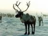 В Якутии стадо оленей сбежало к своим диким собратьям