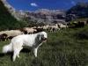 Британский фермер сделал из автомобиля собаку-пастуха