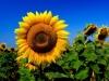 Клуб агрознатоков обсудит семеноводство и урожайность подсолнечника