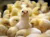В Китае зарегистрированы новые вспышки птичьего гриппа