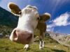 Корова отстояла свои права, несмотря на большевистский напор