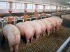 Дело о хищении почти 40 млн рублей на строительстве свинокомплекса дошло до суда