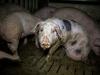 Измученные свиньи на животноводческой ферме в Германии. Осторожно, жуткие фото