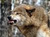 Волк, покусавший трех человек в Ростовской области, оказался не бешеным