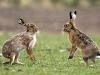 Кубанские фермеры случайно вытравили зайцев вместо мышей