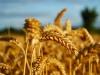 Зерно на ветер