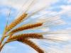 Члены Зернового союза Ростовской области подготовили обращение к руководству страны